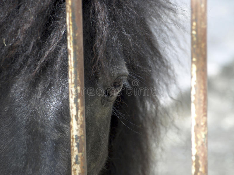 Pony. Black pony looks through the grille at the zoo stock photo