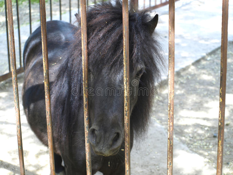 Pony. Black pony looks through the grille at the zoo stock images
