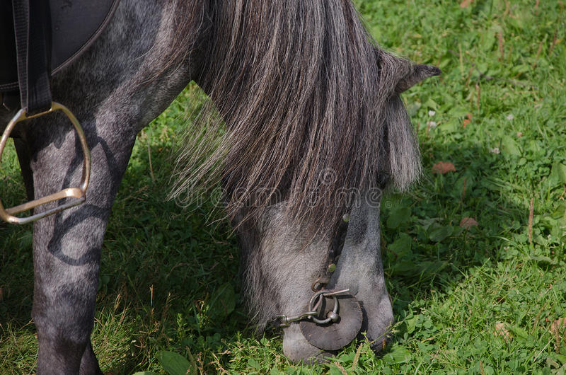 Pony eats grass stock images