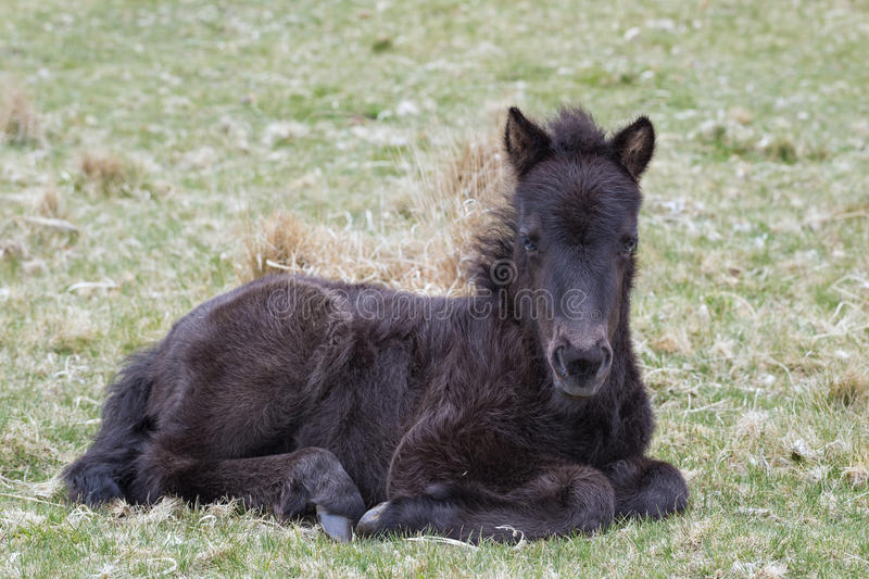 Download Pony Foal stock image. Image of hill, devon, meadow, idyllic - 53752001