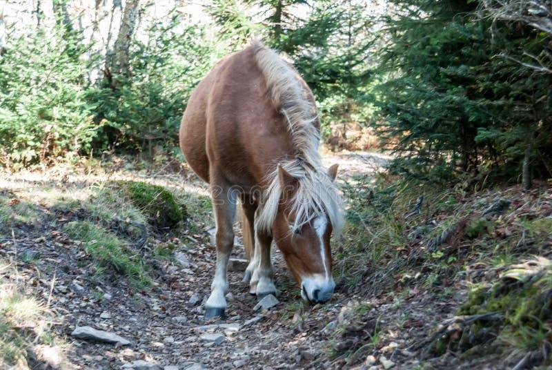 Pony in Grayson Highlands stockfotografie