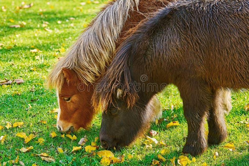 Pony Grazing auf einem Lown stockfoto