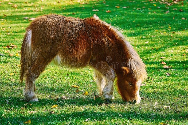 Pony Grazing auf einem Lown stockbilder
