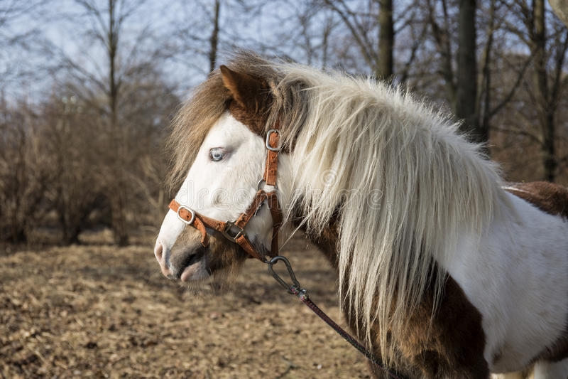 Pony grazing. Near the farm royalty free stock photos