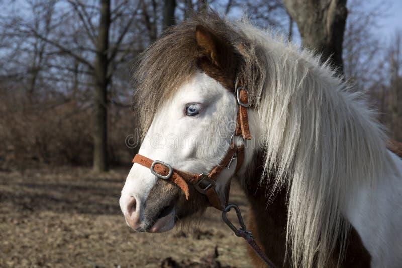 Pony grazing. Near the farm stock photography