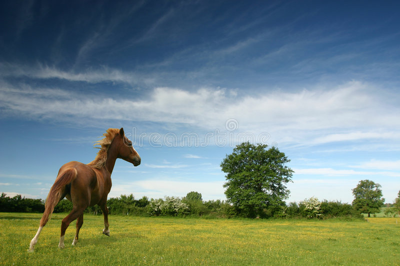 Pony in a green field stock images