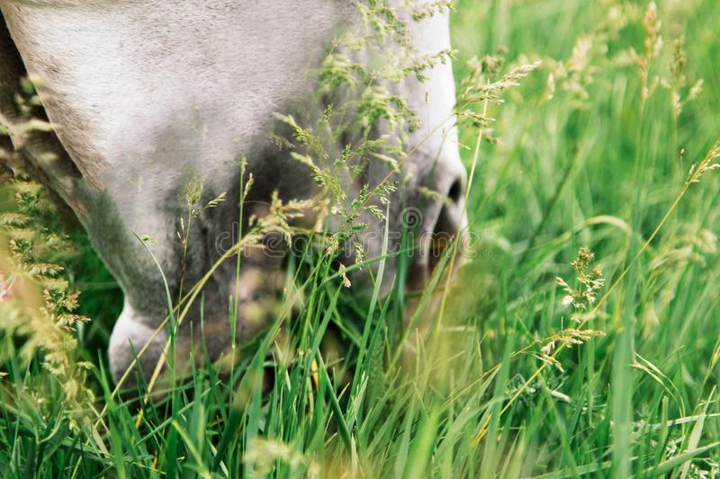 Pony happily eating on a grass covered field with the use of a grazing muzzle. Horse eats lush green grass, spring time royalty free stock images