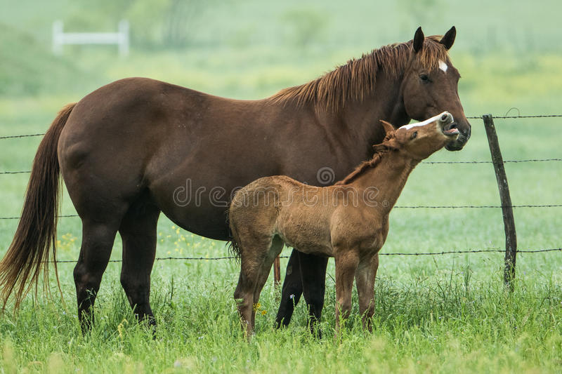 Pony having fun with his mother stock photography