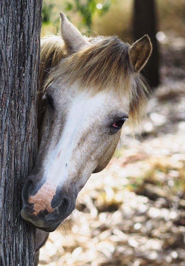 Pony Hiding curiosa detrás de un árbol. foto de archivo libre de regalías
