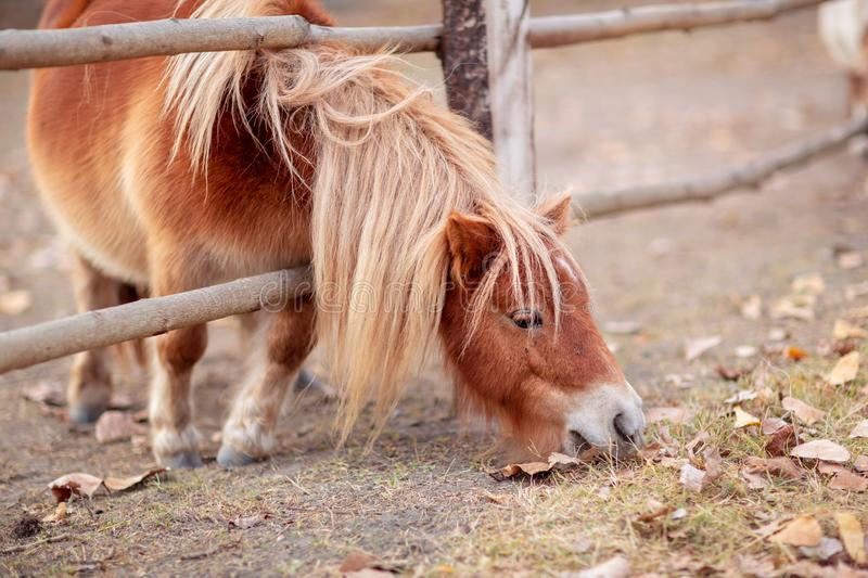 Pony horse- beautiful young pony horse on a farm outdoors royalty free stock photography