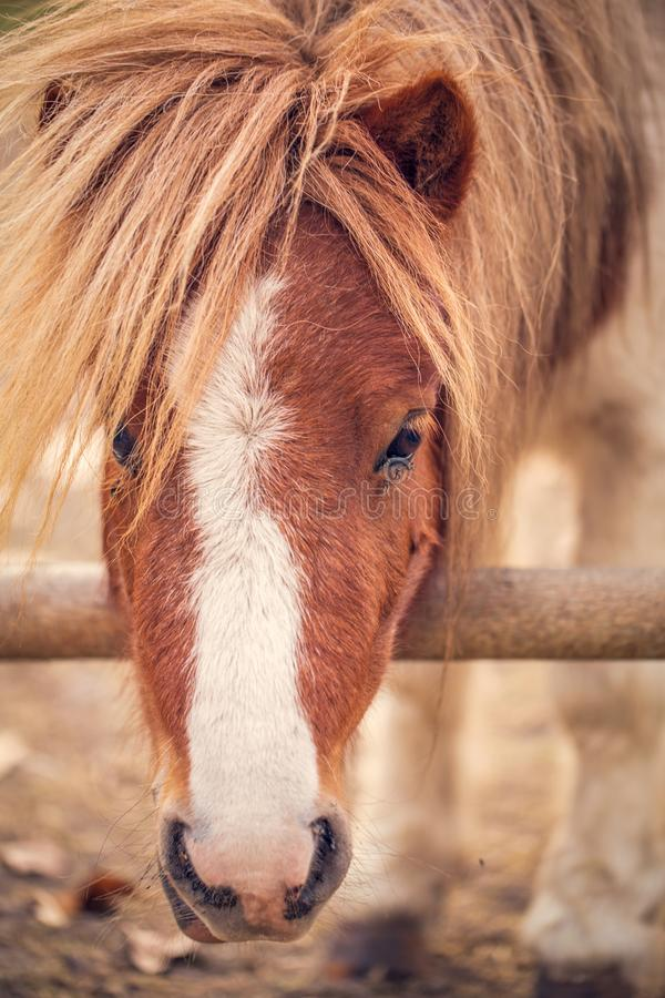 Pony horse- beautiful young pony horse on a farm outdoors stock images