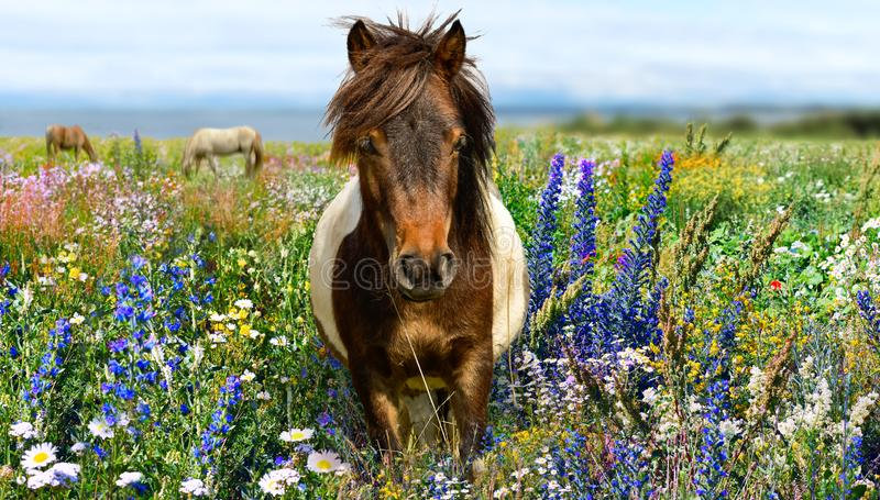 Pony horse head portrait with wildflowers meadow and blue sky royalty free stock image