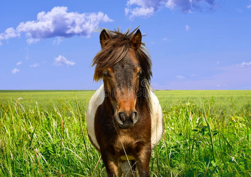 Pony horse head portrait with wildflowers meadow and blue sky stock photo