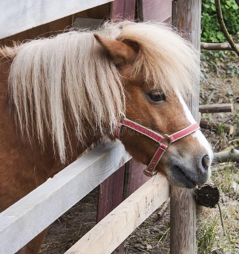 Pony horse royalty free stock photography