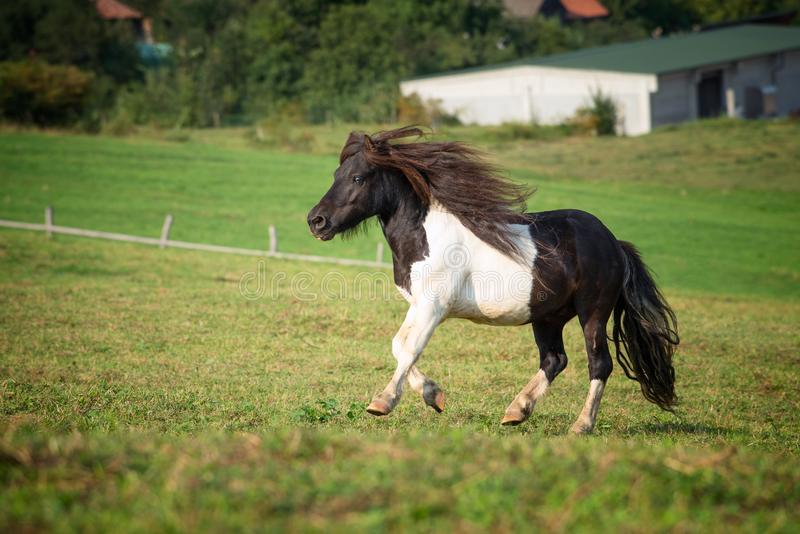 Pony horse running at the mountain farm royalty free stock photography