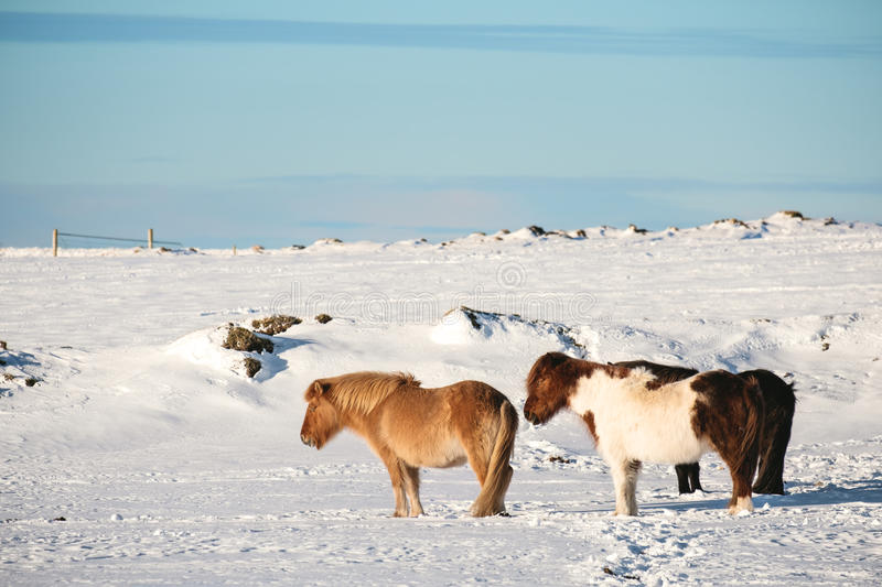 Pony horses standing in winter royalty free stock photography