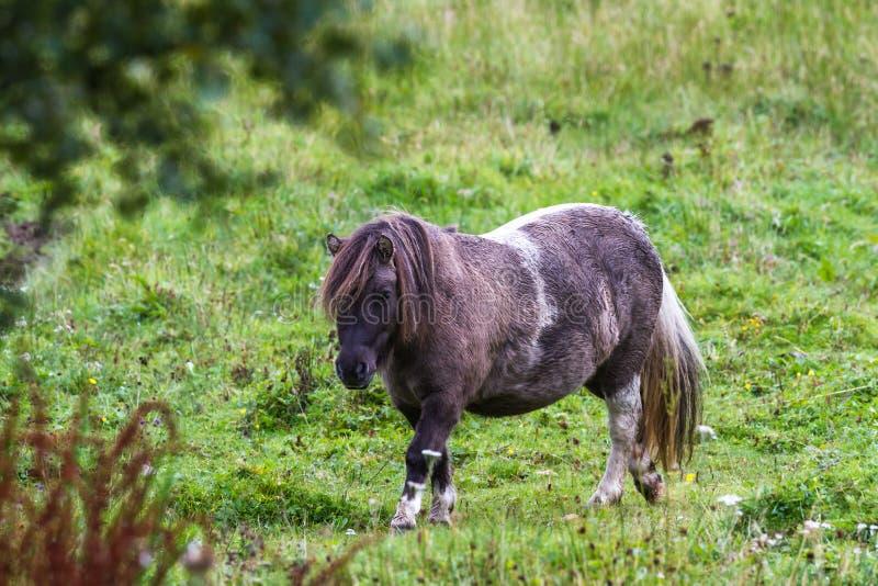 Pony im Hochland lizenzfreies stockbild