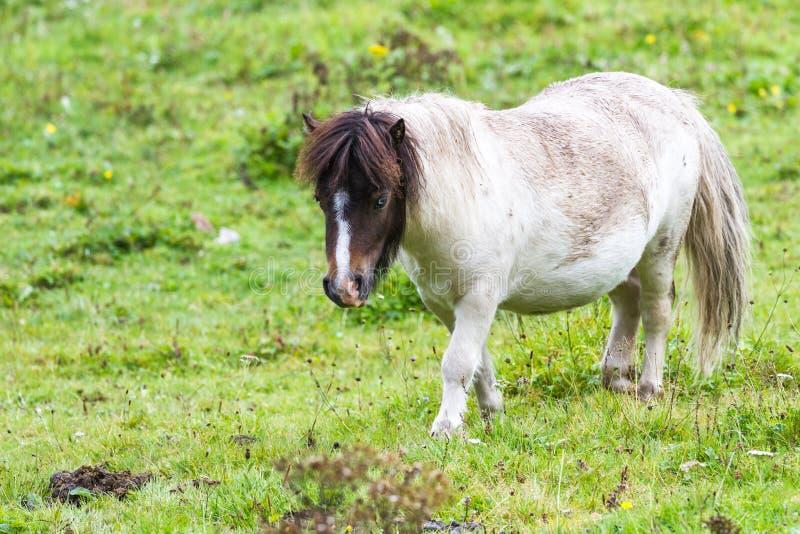 Pony im Hochland lizenzfreie stockbilder