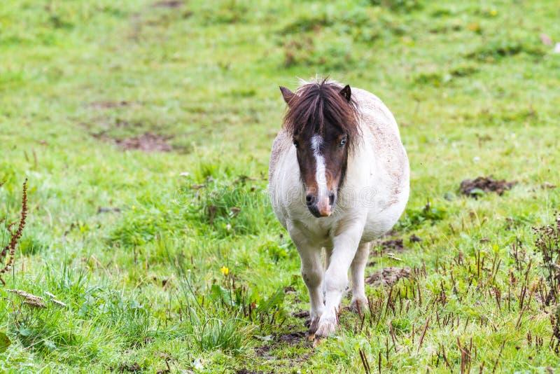 Pony im Hochland lizenzfreies stockfoto