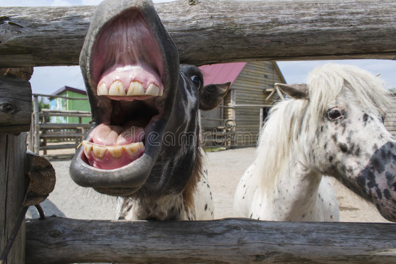 Pony is laughing royalty free stock image