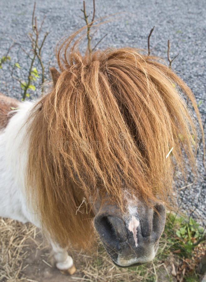 Pony with long hair. Brown white pony with long mane and ponytail royalty free stock photography