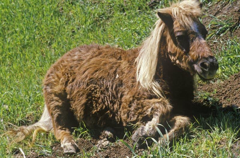 Pony lying down in Topanga, CA stock images