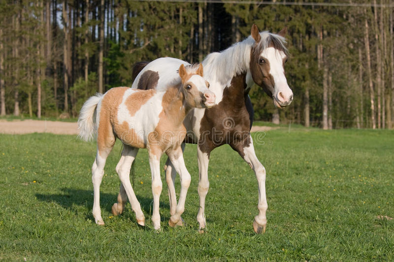 Download Pony mare with little foal stock photo. Image of motion - 22623940