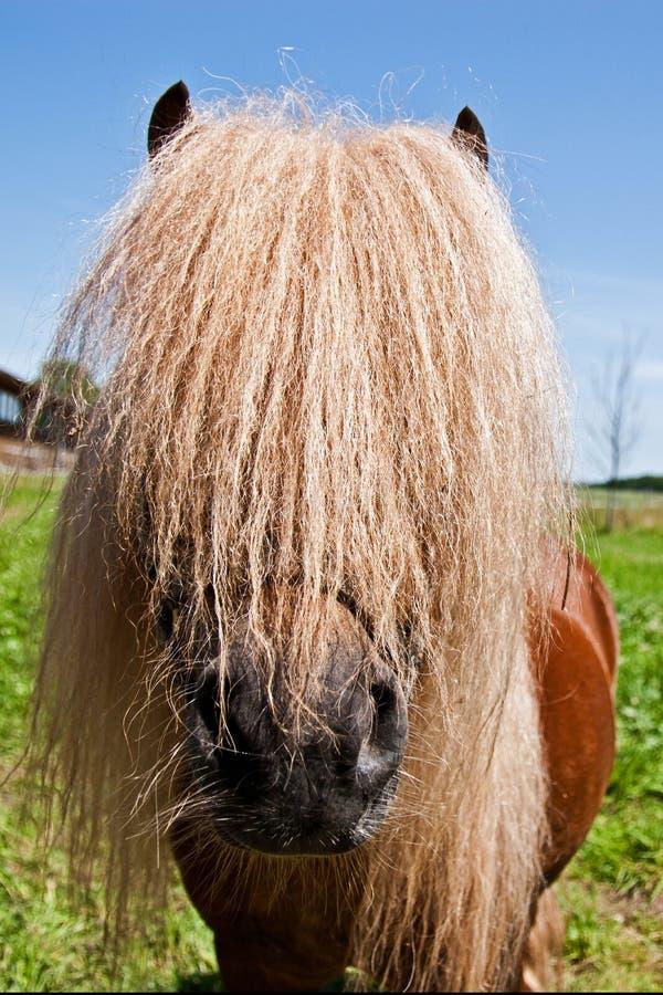 Download Pony stallion stock photo. Image of equestrian, pasture - 26493518