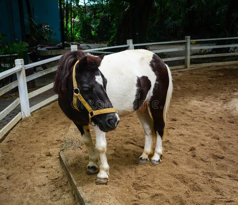 A pony standing in case. At safari park in Bangkok, Thailand stock image