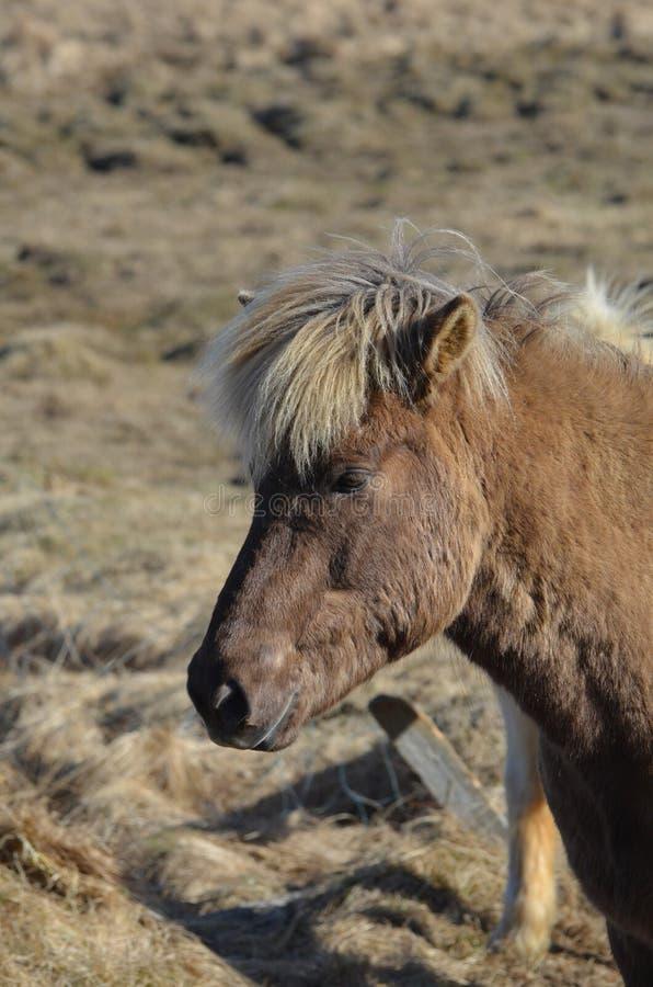 Pony Standing dans un domaine en Islande photos libres de droits