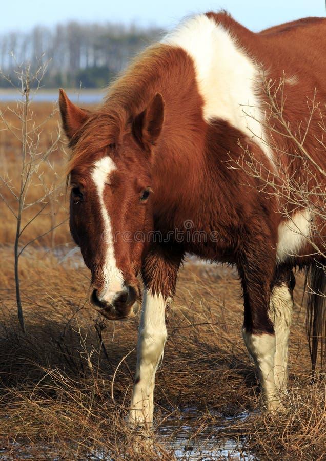 Pony Stares selvaggia immagine stock