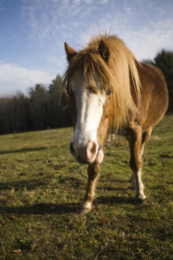 Pony in sunny pasture stock image