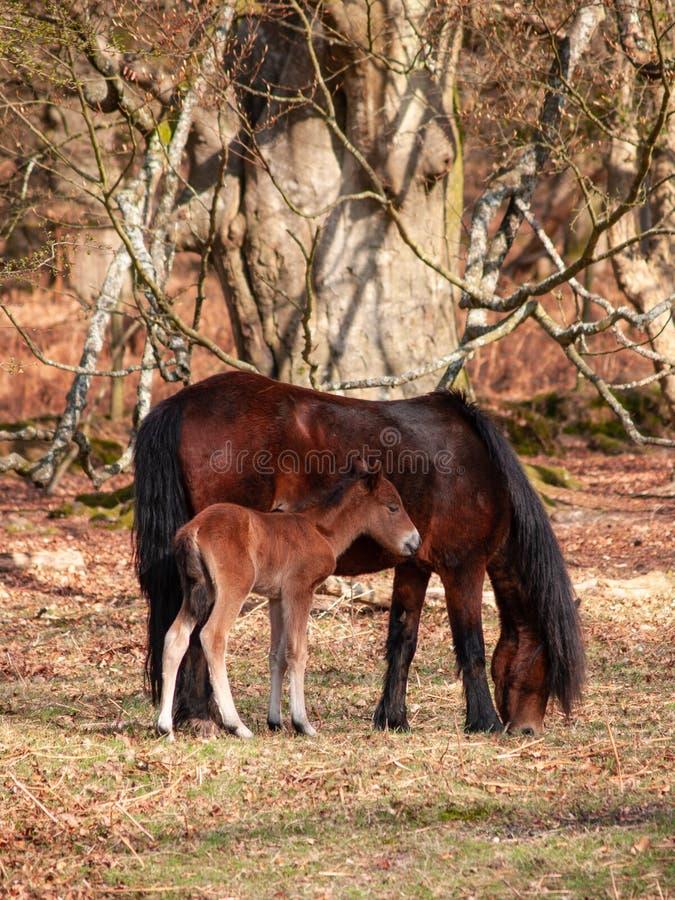 Pony und Fohlen Dartmoor lizenzfreie stockfotografie