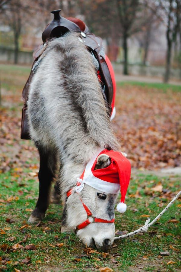 Pony in Weihnachtsmanns roter Schale - Weihnachtspferd lizenzfreies stockfoto