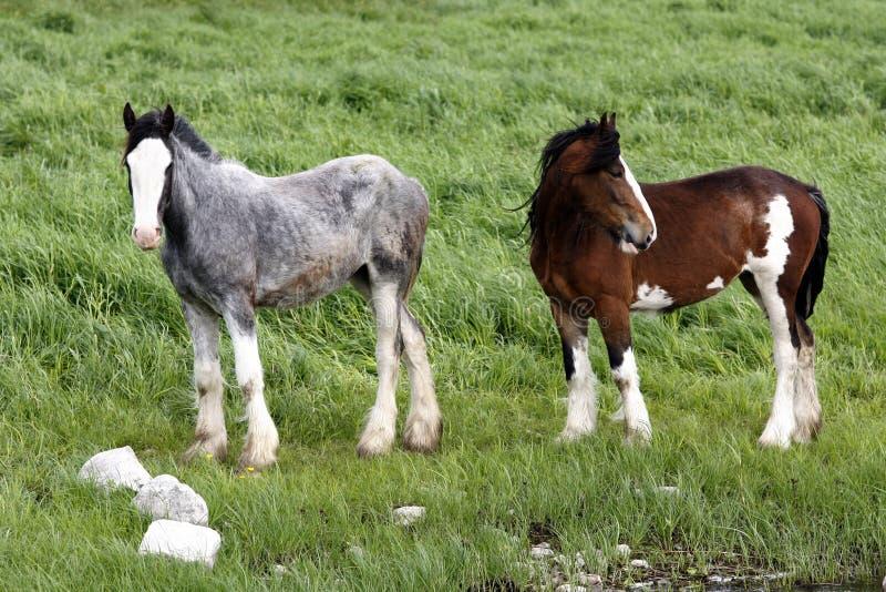 Ponys irlandeses fotos de archivo libres de regalías