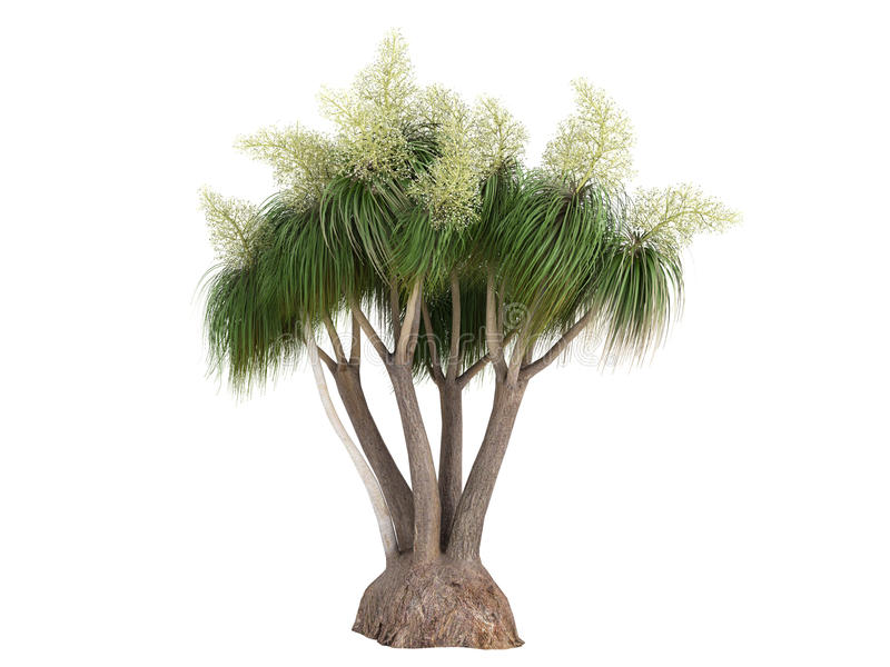 Download Ponytail Palm (Nolina Or Beauca Recurvata) Stock Illustration - Illustration: 18878330