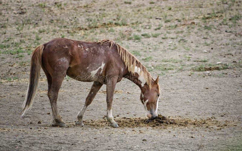 Poo de los caballos salvajes del lavabo de la arena fotos de archivo