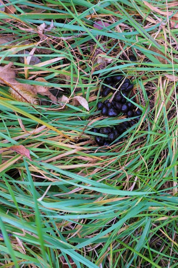 Poo frais de cerfs communs caché dans l'herbe de long champ photographie stock