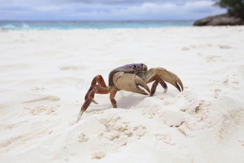 Poo kai crab on white sand beach of tachai island similan nation. Al park southern of thailand for natural scene royalty free stock photos