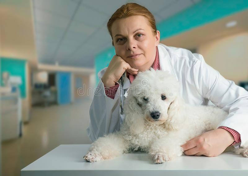 Poode και κτηνίατρος στοκ φωτογραφίες με δικαίωμα ελεύθερης χρήσης