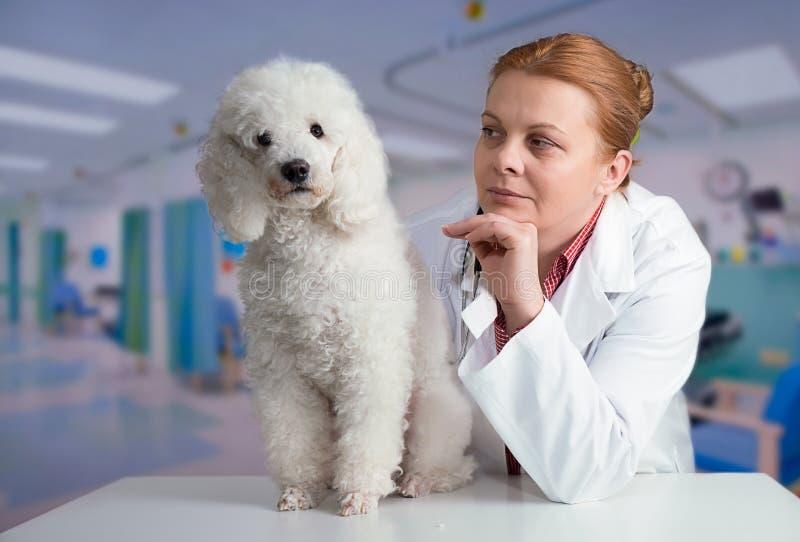 Poode και κτηνίατρος στοκ φωτογραφίες