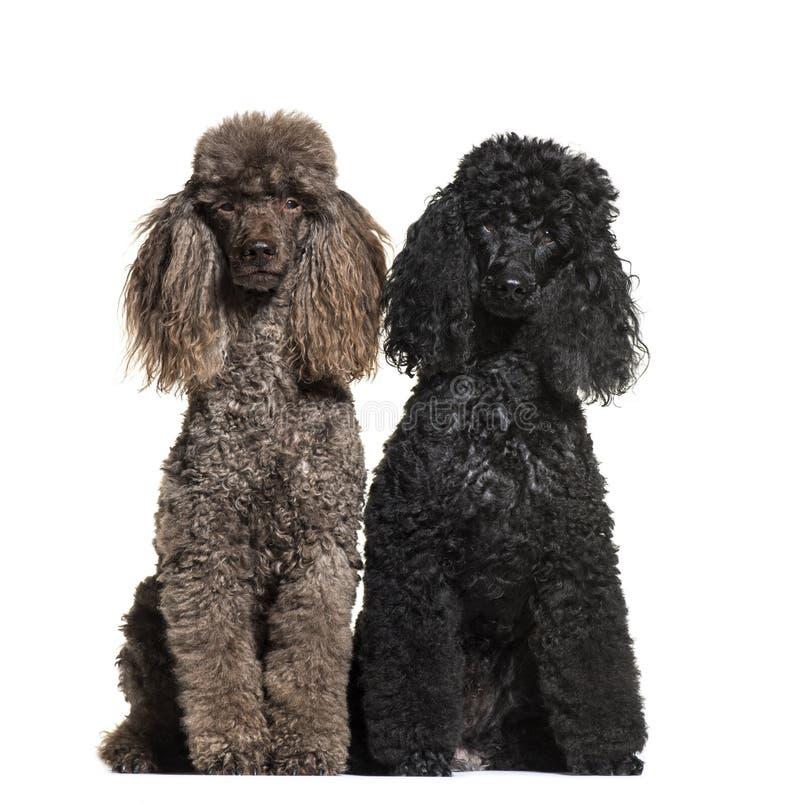 Poodle, 6 και 12 χρονών στοκ εικόνα