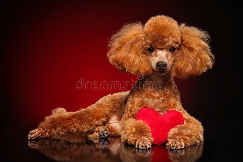 Poodle εναπόκειται σε μια κόκκινη καρδιά στοκ φωτογραφία με δικαίωμα ελεύθερης χρήσης