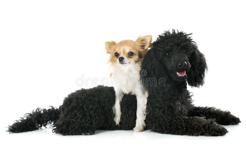 Poodle και chihuahua κουταβιών στοκ εικόνες