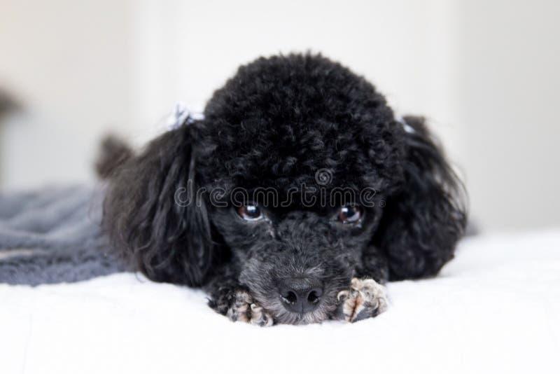 Poodle κουτάβι στοκ φωτογραφία