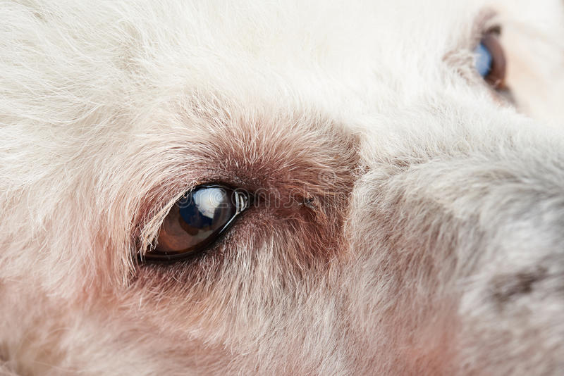 Poodle μάτια σκυλιών με τη μόλυνση στοκ εικόνες