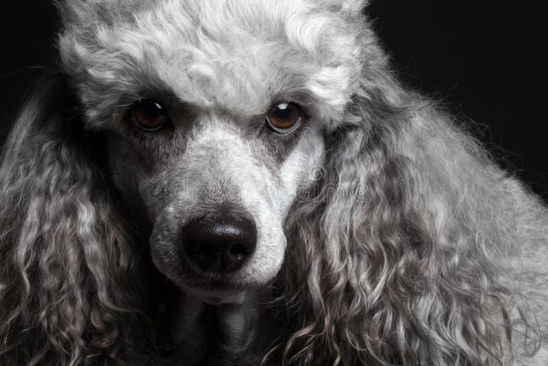 Poodle πορτρέτου κινηματογραφήσεων σε πρώτο πλάνο στοκ φωτογραφία