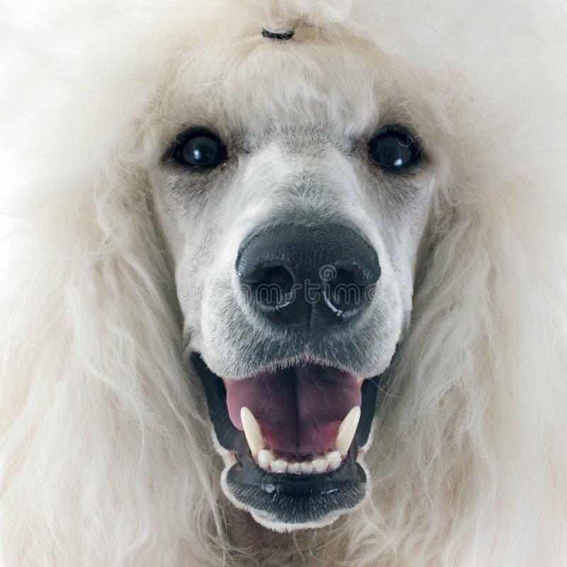poodle πρότυπο λευκό στοκ φωτογραφία με δικαίωμα ελεύθερης χρήσης