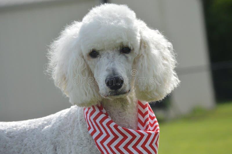 poodle πρότυπο λευκό στοκ εικόνες με δικαίωμα ελεύθερης χρήσης