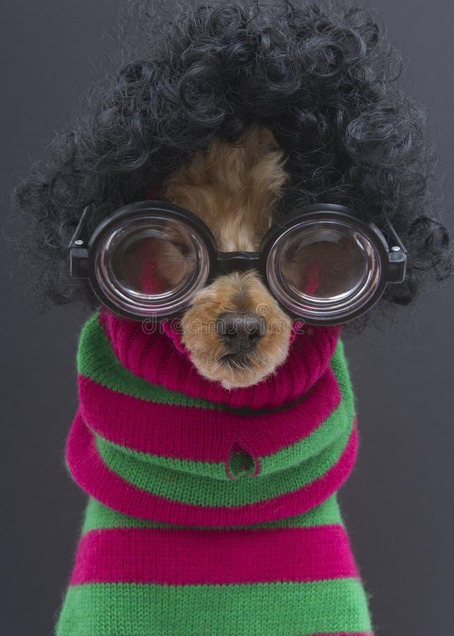 Poodle στις μπούκλες, γυαλιά, λωρίδες Χριστουγέννων στοκ φωτογραφία με δικαίωμα ελεύθερης χρήσης
